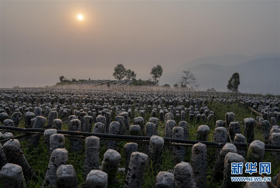 (脱贫攻坚)(1)云南绿春:生态木耳助农增收