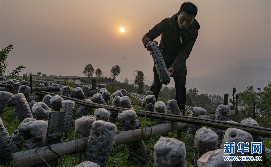 (脱贫攻坚)(2)云南绿春:生态木耳助农增收