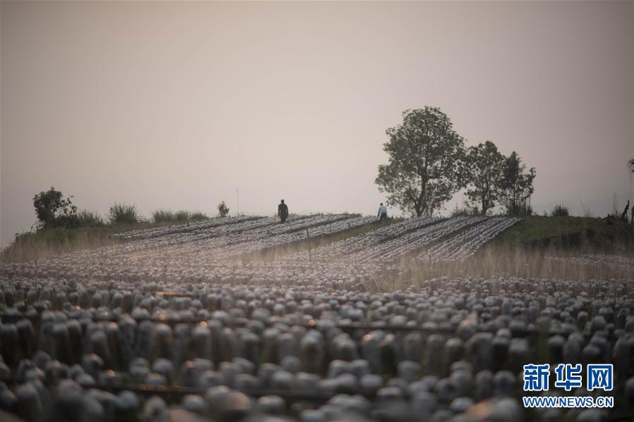 (脱贫攻坚)(4)云南绿春:生态木耳助农增收