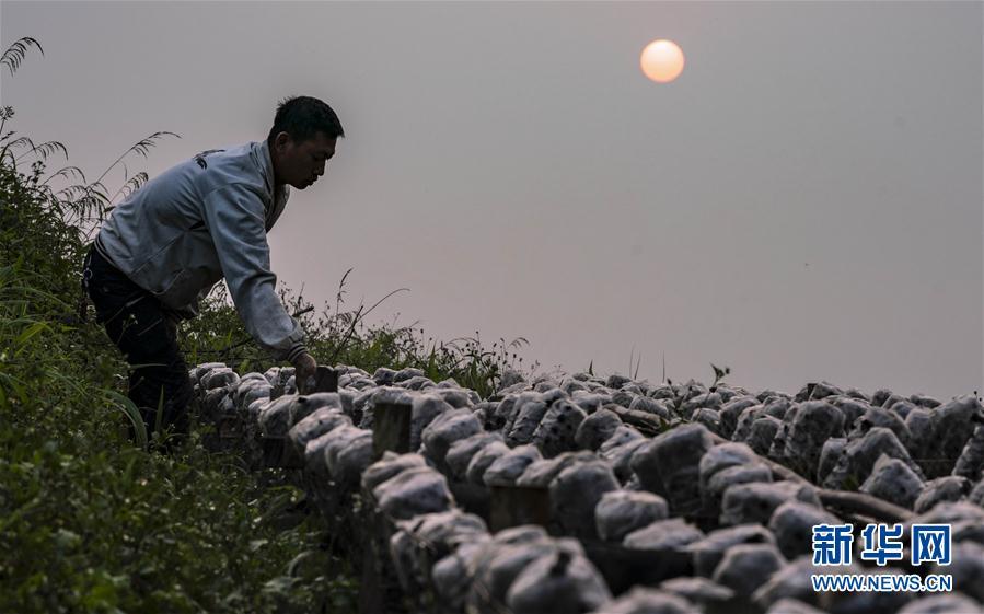 (脱贫攻坚)(3)云南绿春:生态木耳助农增收