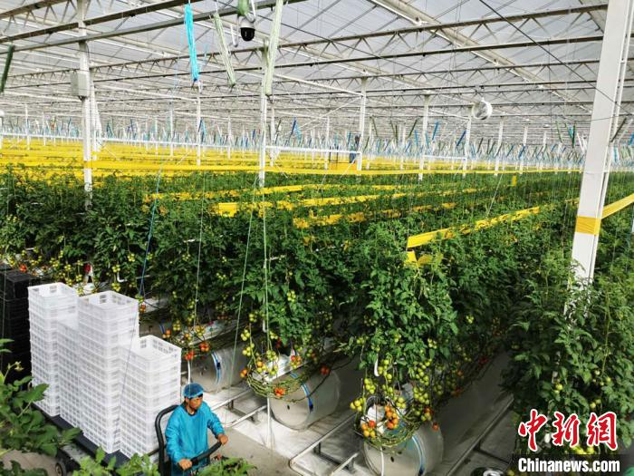 在海升集团民乐县境内的基地,其现代智能玻璃温室,相较于普遍的日光温室室内面积大出数十倍,而且工业化的元素已嫁接到农业。