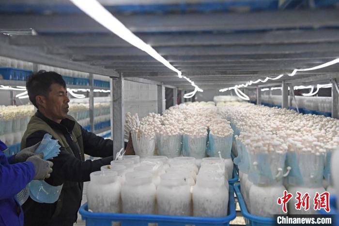 甘肃神农珍稀菇业有限公司内生产的有机海鲜菇,工人正在采摘打包。