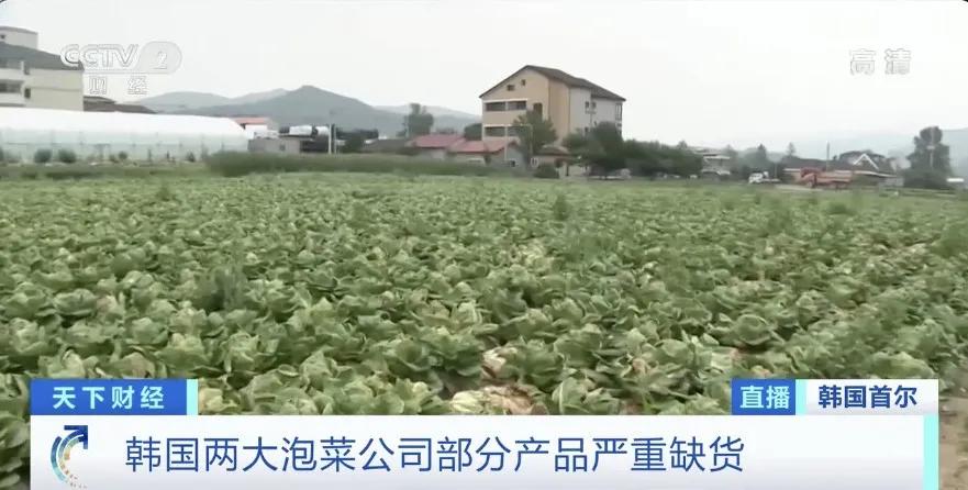 """白菜变""""金菜"""" 一棵售价58元!农贸市场卖断货 """"偷菜贼""""铤而走险 韩国泡菜严重紧缺"""
