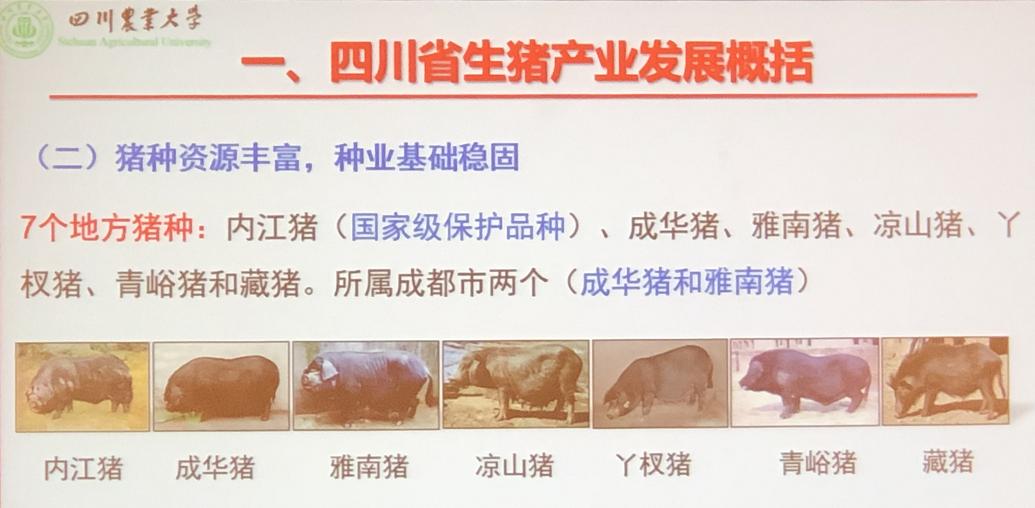 """""""坐""""飞机到中国 3万一头!种猪也被卡脖子 新希望董事长讲出养猪行业一个大问题"""