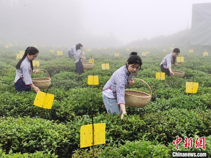 """产业融合绿色发展 湖南安化用黑茶""""趟""""出脱贫路"""