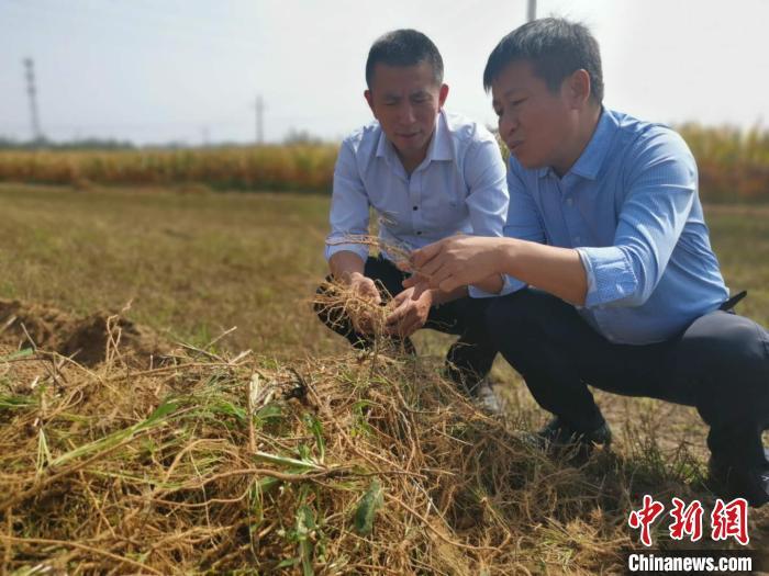 绵山镇镇长宋建国(图右)与刘清安在田间地头调研道地药材产量和质量。