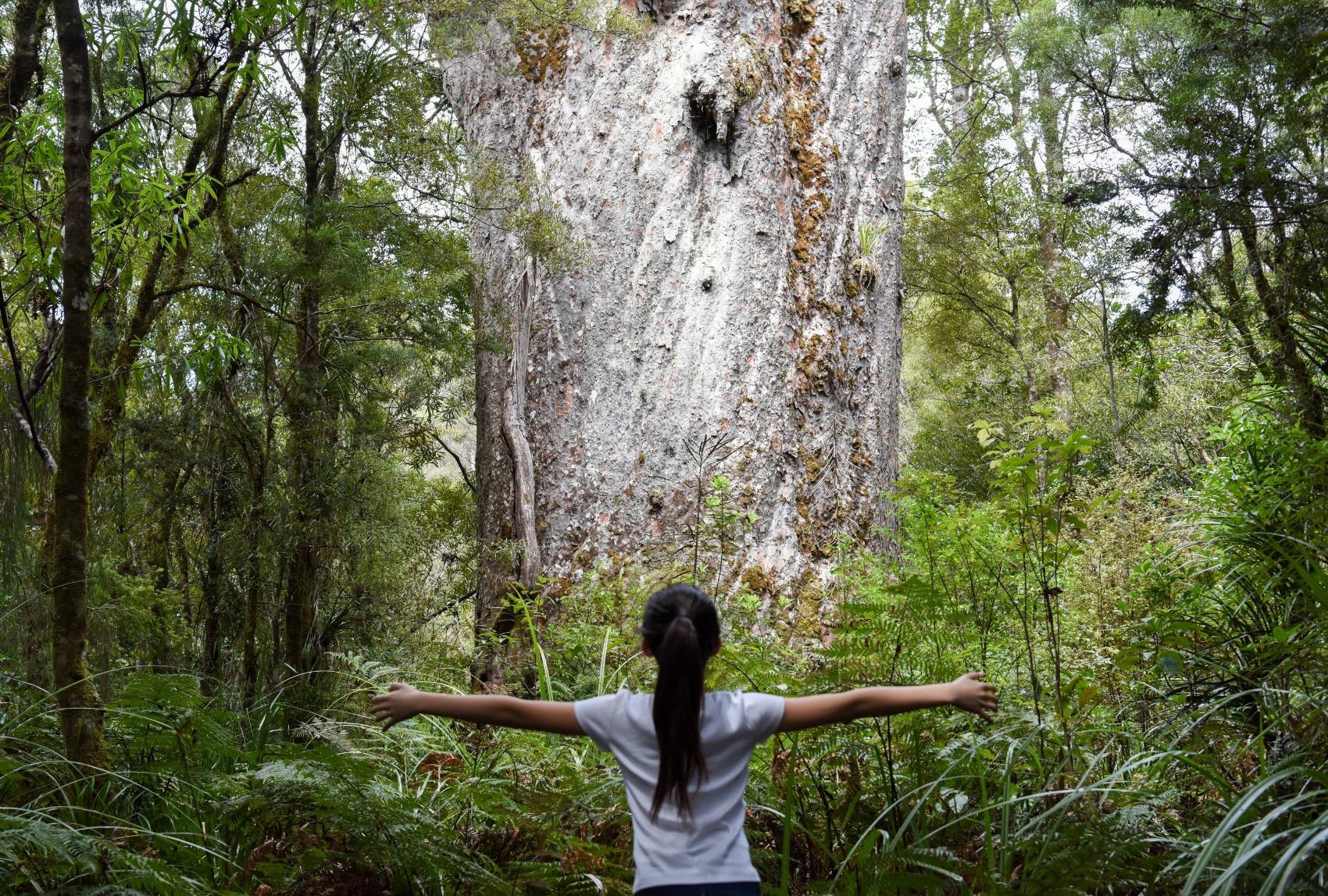隐于森林深处的新西兰国宝--世界最大贝壳杉